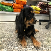 كلب كويكر بسعر مغري لدى محل قلعة الحيوان