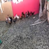 دجاج فيومي وبلدي بياض
