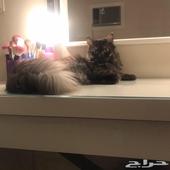 قطه شيرازيه للبيع مع اطفالها 3