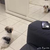 كلب مالتيز مع جواز ومتطعمه