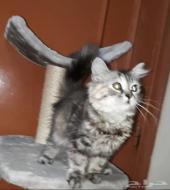 قطة صغيرة شيرازي . مجموعة