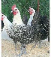 بيض دجاج فيومي