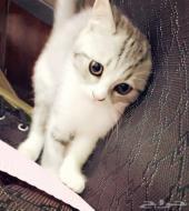 قطه صغيره جدا للبيع