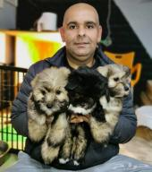 جراء هافنيز Havanese puppies