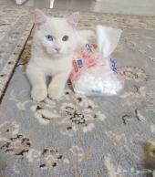 قط هملايا للبيع
