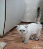 قط هملايا رمادي صغير