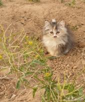 قطة شيرازية كيتن شعر كثيف