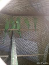 طيور دره للبيع