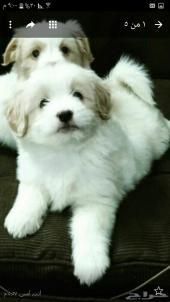 كلب مالتيز فرنسي للبيع في الرياض