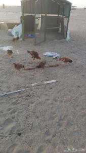 دجاج بكستاني للبيع العدد7