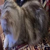 قطوة شيرازية للبيع