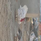 دجاج رومي العدد 6 ذكر و5 اناثي بصحة ممتازه