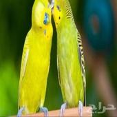 اللي له طير بادجي او طير حب موجود عندي حي الحمدانية