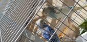 طيور البادجي  او الحب