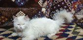 قط شيرازي أنثى خاليه من جميع الأمراض