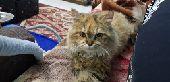 للبيع قطة شرازية على السوم