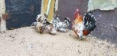 للبيع ديك واربع دجاج