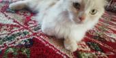 قطه شرازيه ابيض لونها