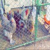 دجاج براههمه وبكستاني