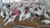 40دجاجه رومي و10 ديوك لبداية مشروعه