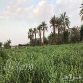 حنه منطقة المدينة من مزارعنا الخاصة في ينبع النخل