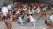 دجاج بلدي للبيع عدد 2000
