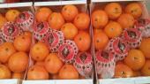 توريد البرتقال والحمضيات من المغرب للتجار فقط