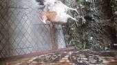 دجاجه معها فرخ