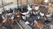 دجاج بلدي  ودجاج رومي وبط