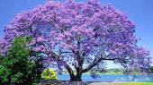 بذور شجرة الجاكرندا من أجمل اشجار العالم