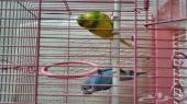للبيع طيور الحب (بادجي)