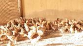 صوص دجاج بلدي عمر شهر الوان فواتح