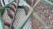 قمري مهاجر (الموقع حقل)