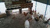 دجاج بلدي (تم البيع )