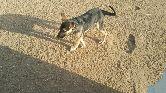 كلب حراسة جيرمن شيبيرد