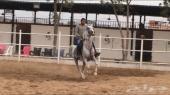 حصان عربي شعبي شيخ