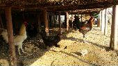 دجاج بياض  اسود  بري
