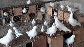 حمام لاحم ايطالي سوبر سوبر كنق سايز