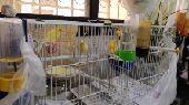 عصافير كناري للبيع.