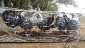 دجاج فيومي .. مصري