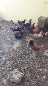دجاج بلدى للبيع