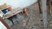 دجاج برهما و بلدي