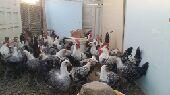للبيع دجاج فيومي مصري أصل