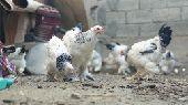 دجاج براهما كولمبي اصل