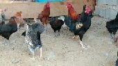 للبيع دجاج بلدي جملة من 20عدد 88حبه
