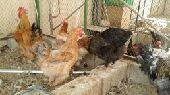 دجاج وديوك براهما مزاد لمدة يوم واحد