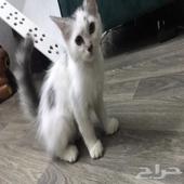 قط نوع شيرازي