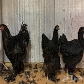 طقم دجاج براهما اسود ملكي