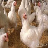 دجاج لاحم طازج