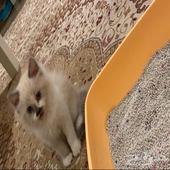 قط صغير هملايا